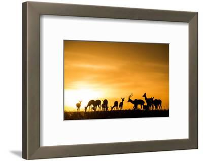 Kenya, Maasai Mara, Mara Triangle, Mara River Basin, Impalas at Sunset