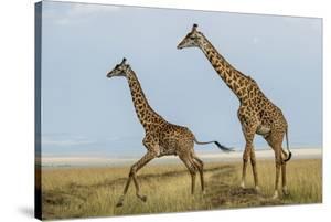 Kenya, Maasai Mara, Mara Triangle, Mara River Basin, Maasai Giraffe by Alison Jones