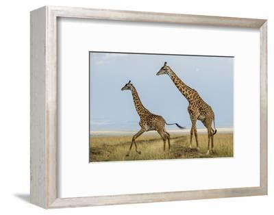 Kenya, Maasai Mara, Mara Triangle, Mara River Basin, Maasai Giraffe