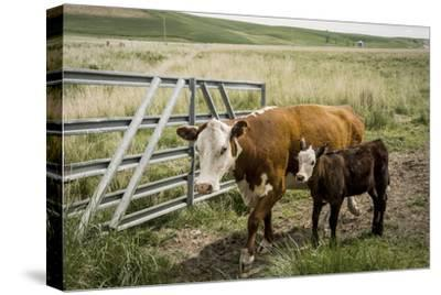 Palouse, Snake River Expedition, Pioneer Stock Farm, Cows at Pasture Gate by Alison Jones