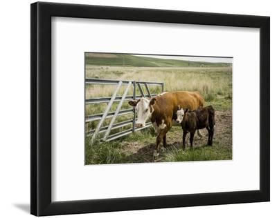 Palouse, Snake River Expedition, Pioneer Stock Farm, Cows at Pasture Gate
