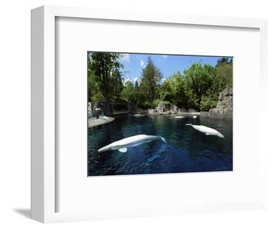 White Whale at the Aquarium, Vancouver, British Columbia, Canada