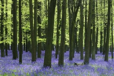 Bluebells at Dockey Wood on the Ashridge Estate