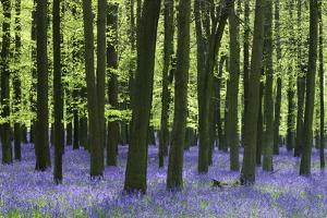 Bluebells at Dockey Wood on the Ashridge Estate by Alistair Laming