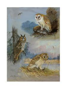 A Painting of a Barn Owl, a Long-Eared Owl, and a Short-Eared Owl by Allan Brooks