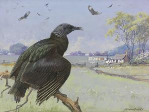A Painting of a Black Vulture on a Branch While Many More Fly by Allan Brooks