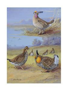 A Painting of a Group of Prairie Chickens of Different Species by Allan Brooks