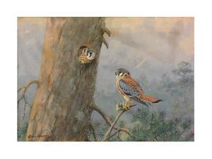 A Painting of a Male and Female Sparrow Hawk by Allan Brooks