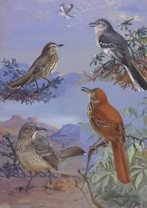A Painting of a Mockingbird, Sage Thrasher, and Curve-Billed Thrasher by Allan Brooks