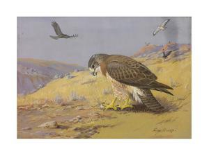 A Painting of a Swainson's Hawk Killing a Smaller Bird by Allan Brooks
