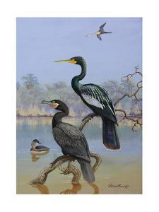 A Painting of a Water Turkey, Mexican Cormorant and a Mexican Grebe by Allan Brooks