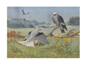 A Painting of a White-Tailed Kite and Two Mississippi Kites by Allan Brooks