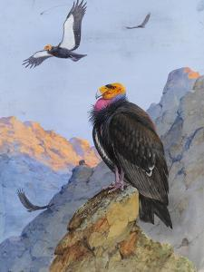 A Painting of Adult and Immature California Condors by Allan Brooks