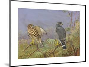 A Painting of Adult and Immature Grey Hawks by Allan Brooks