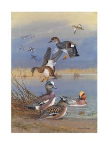 A Painting of American Widgeons, Eurasian Widgeons, and Gadwalls by Allan Brooks