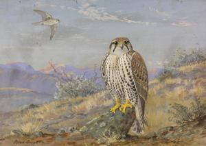 A Painting of an Adult and an Immature Prairie Falcon by Allan Brooks