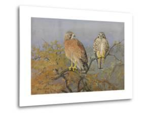 A Painting of an Adult and an Immature Red-Shouldered Hawk by Allan Brooks