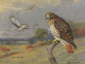 A Painting of an Adult and Two Immature Red-Tailed Hawks by Allan Brooks