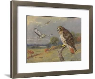A Painting of an Adult and Two Immature Red-Tailed Hawks