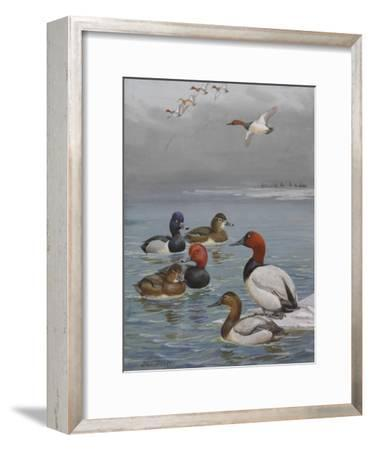 A Painting of Canvasback, Redhead, and Ring-Necked Ducks