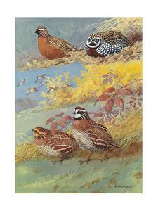 A Painting of Different Species of Bobwhite and Quail by Allan Brooks