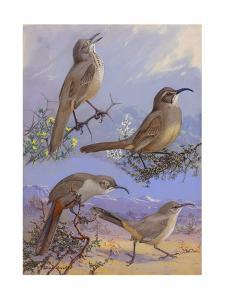A Painting of Four Different Species of Thrasher by Allan Brooks