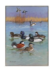 A Painting of Greater Scaups, Lesser Scaups, and Ruddy Ducks by Allan Brooks