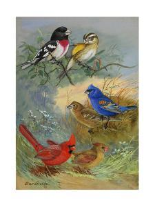 A Painting of Grosbeaks and Cardinals by Allan Brooks