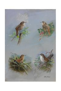 A Painting of Several Different Species of Wren by Allan Brooks
