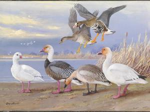 A Painting of Several Species of Adult and Young Geese by Allan Brooks