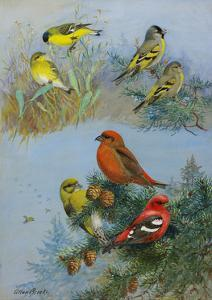 A Painting of Several Species of Crossbill by Allan Brooks