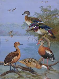 A Painting of Several Species of Ducks by Allan Brooks