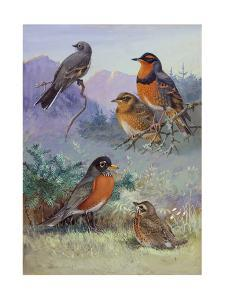 A Painting of Several Species of Robin by Allan Brooks