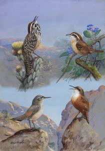 A Painting of Several Wren Species by Allan Brooks