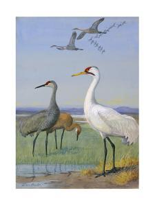 A Painting of Three Species of Cranes by Allan Brooks