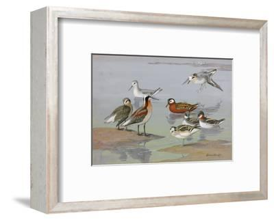 A Painting of Three Species of Phalaropes