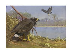 A Painting of Two, Adult Common Black-Hawks by Allan Brooks