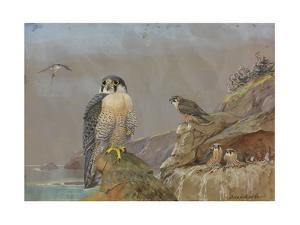 A Painting of Two Adult Peregrine Falcons and their Young by Allan Brooks