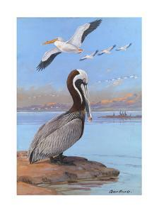 A Painting of Two Different Species of Pelican by Allan Brooks