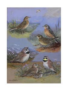 A Painting of Two Species of Pipit and Two Species of Horned Lark by Allan Brooks
