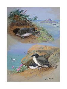 A Painting of Xantus's Murrelets and Cassin's Auklets by Allan Brooks