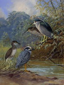 Adult Night Heron's and their Young Find Water by Allan Brooks