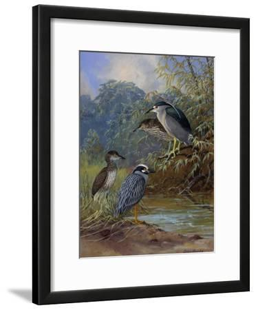 Adult Night Heron's and their Young Find Water