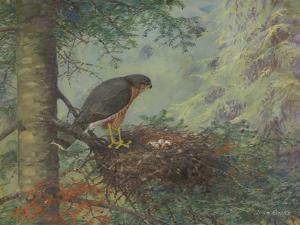 An Adult, Female Sharp-Shinned Hawk Tends to the Eggs in Her Nest by Allan Brooks