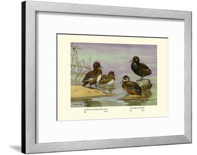 Australian White-Eyed and Southern Pochard Ducks