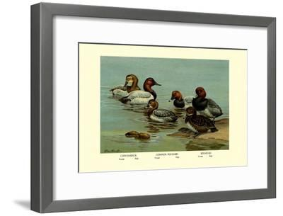 Canvas-Back, Common Pochard and Red-Head Ducks