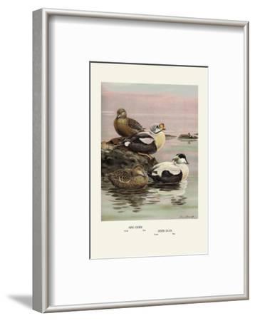 Eider and King Eider Ducks