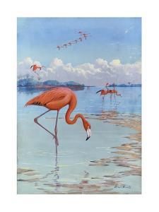 Flamingos Wade in Shallow Tropical and Subtropical Waters by Allan Brooks