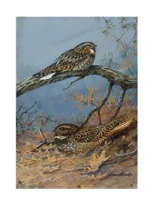 Painting of a Whippoorwill and a Chuck-Will'S-Widow by Allan Brooks