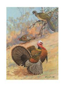 Painting of a Wild Turkey Pair and a Chachalaca Perched in a Tree by Allan Brooks